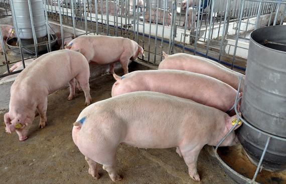 Sử dụng chất cấm trong chăn nuôi bị phạt 100 triệu đồng