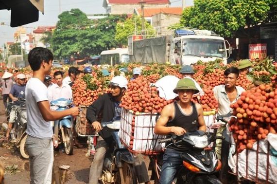 Người dân mua bán vải thiều tại Lục Ngạn (Bắc Giang) - Ảnh: Quang Thế