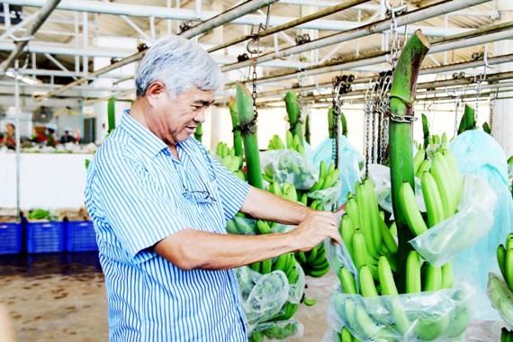 ông Võ Quan Huy chăm chút lô chuối xuất khẩu sang Nhật Bản Ảnh: PHIÊU NHIÊN