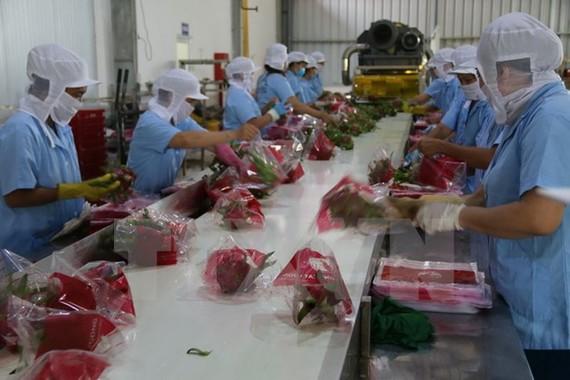 Sơ chế thanh long tại Công ty TNHH sản xuất chế biến nông sản Cát Tường, Tiền Giang.
