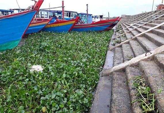 Cây lục bình dạt vào cảng cá Cửa Só dày đặc