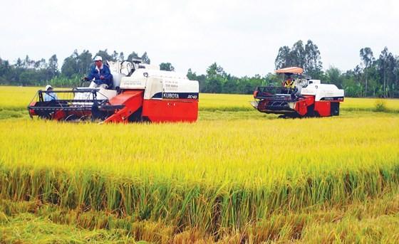 Nông dân Hậu Giang thu hoạch lúa trên cánh đồng mẫu lớn. Ảnh: CAO PHONG