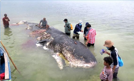 Xác con cá nhà táng trôi dạt vào bờ biển Sulawesi, Indonesia.