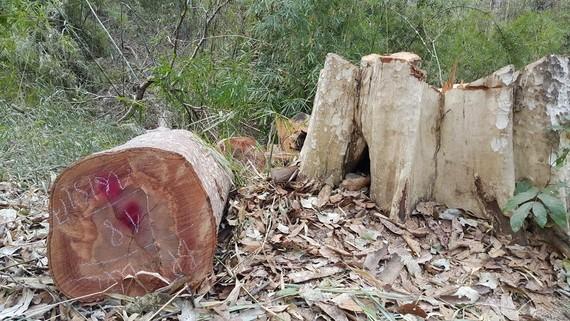 Một vụ phá rừng ở huyện Ia Grai