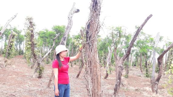 Hồ tiêu chết tràn lan trên địa bàn huyện Chư Pưh