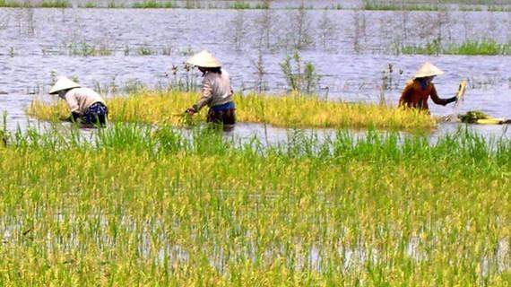 Nông dân thu hoạch lúa ngoài vùng đê bao để chạy lũ