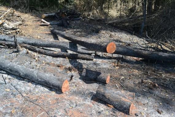 Nhiều diện tích rừng ở Công ty Lâm nghiệp Quảng Sơn bị tàn phá