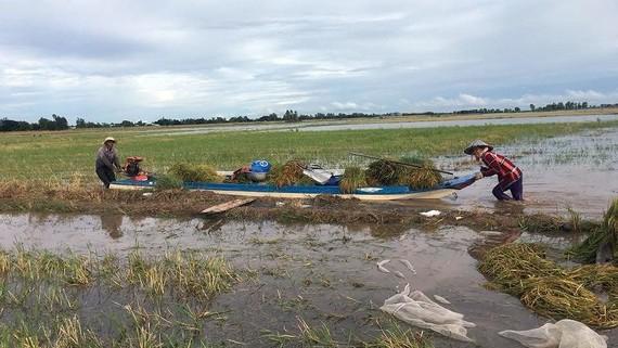 Nông dân huyện đầu nguồn An Phú (An Giang) thu hoạch lúa chạy lũ sớm