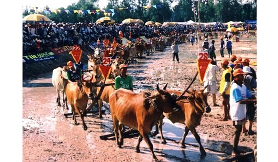 Cow Racing Festival in An Giang