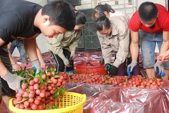 Gardeners in Luc Ngan district, northern Bac Giang province,  enjoy a harvest of lychees. (Photo: Sggp)