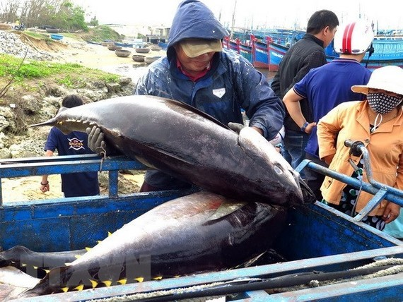 Tuna fished off the coast of Phu Yen province (Photo: VNA)