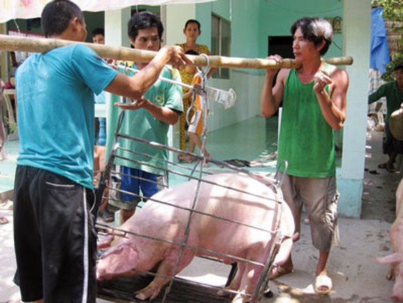 Farmers sell pig at low price suffering big loss (Photo: SGGP)