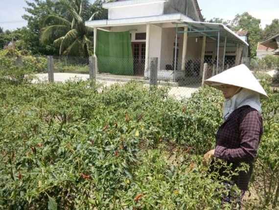 Many farms for growing chili pepper are left fallow because price of the produce drops (Photo: SGGP)