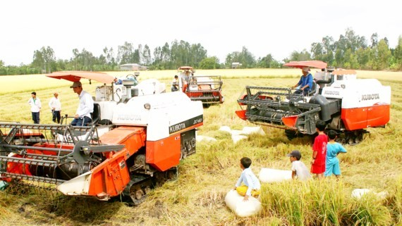 Price of rice increase making farmers exhilarated (PHoto: SGGP)