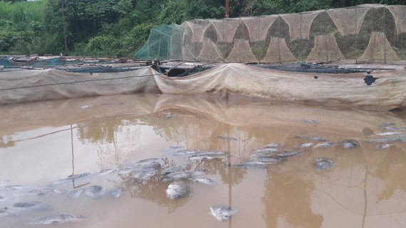 400 tons of farm-raised fish die en masse after hydroelectric plant discharges its water (Photo: SGGP)