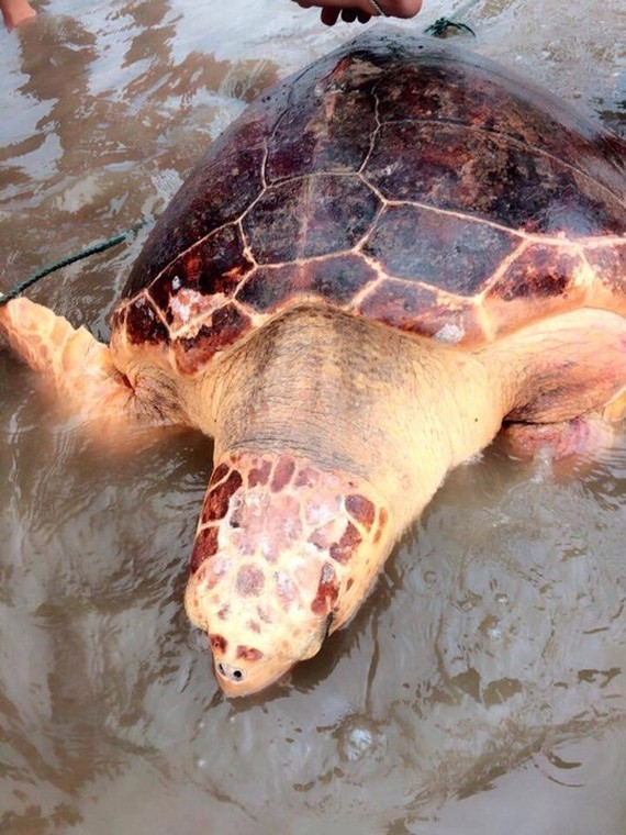 The endangered green turtle was released into wild in Quang Tri province. (Photo: nld.com.vn)