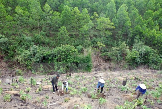 The Central Highlands aims for 49.8 percent in forest coverage in 2020 (Photo: VNA)