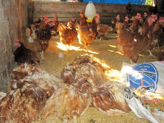 A/H5N1-affected chickens at a farm. (Photo: VNA)