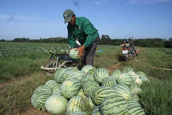 Farmers in Quang Ngai Province are harvesting their first organic seedless watermelons. Photo by Nguyen Trang