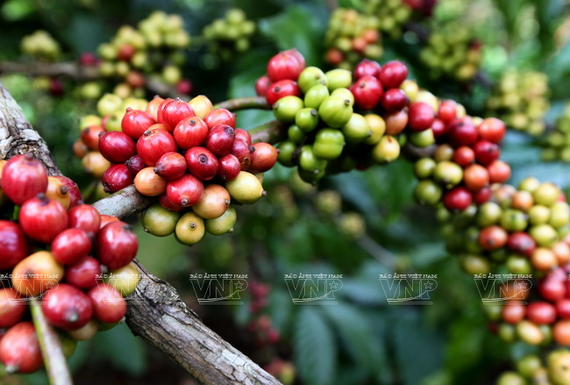 Italian coffee producers highly evaluate Vietnamese coffee beans. (Photo: VNA)
