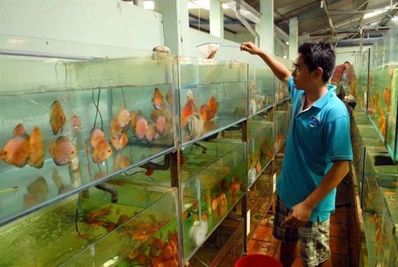 A man takes care of ornamental fish at Saigon Aquarium Corporation in HCM City (Photo: VNA)