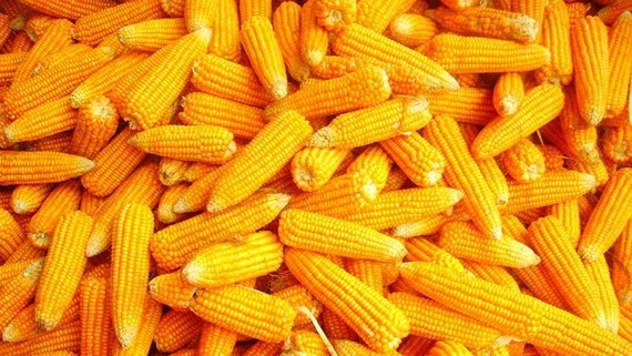 Vietnam spends nearly $1 bil animal feed corn in six months