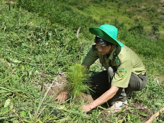 Nearly 57,000 hectares of alternative forests have been planted in Vietnam (Source: VNA)