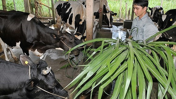 Raising milk cow is a way to escape poverty (Photo: SGGP)
