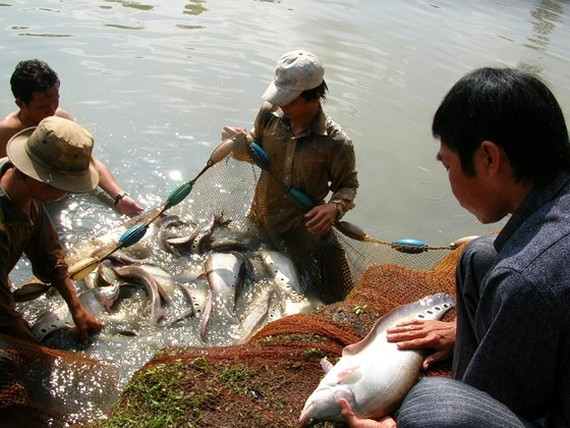 Fish breeders in Vi Thuy District are harvesting that lat fish (Photo: SGGP)