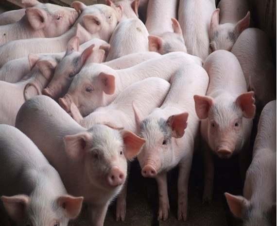African swine fever not cause for pig death in Vietnam's north