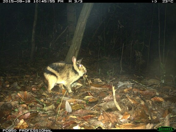 The elusive Annamite striped rabbit (Nesolagus timminsi) in a photo snapped by a camera trap in the wild. (Photo courtesy WWF)