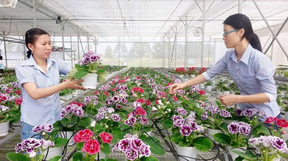 Flower growing in nethouses in the HCMC Biotechnology Center. Photo by Thanh Tri