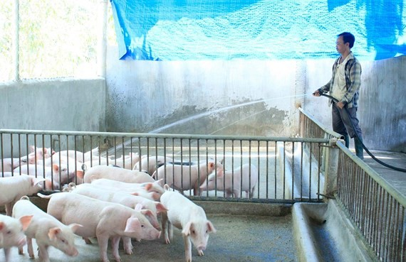 HCMC tightens control over pigs into city
