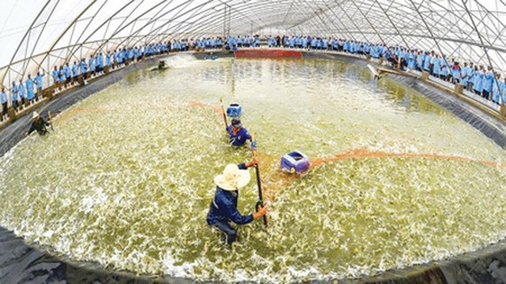 The Vietnam – Australia Corporation is raising shrimps using high technologies in the southern province of Bac Lieu. Photo by Ham Luong