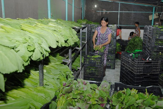 Vegetable cultivation in HCM City's Cu Chi district has helped reduce poverty in the area (Photo: VNA)