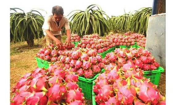 New Zealand helps to increase dragon fruit value