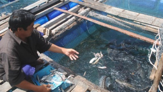 1,500 dead fish appear in floating farms in Ca Mau province