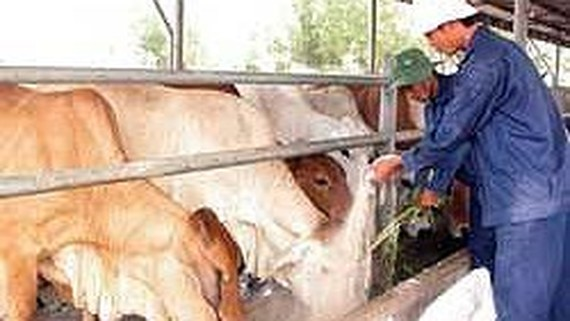Vietnam begins manufacturing vaccines against foot-and-mouth disease