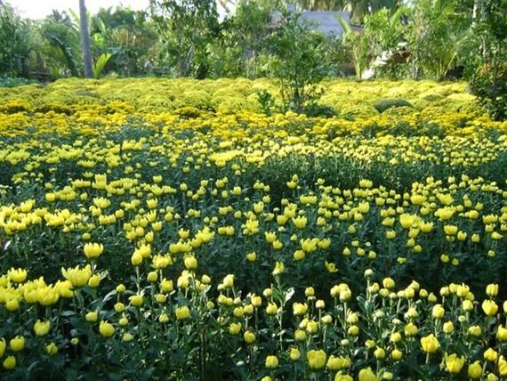Flower field in Ben Tre province. (Photo: VNA)