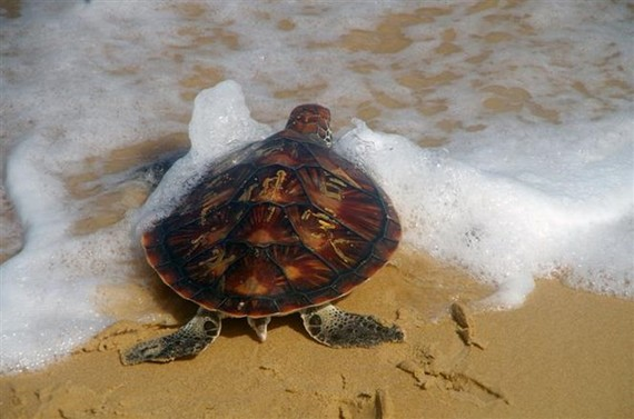 A rare turtle is released back into the ocean in the south-central coastal province of Phu Yen on January 11 (Photo: VNA)