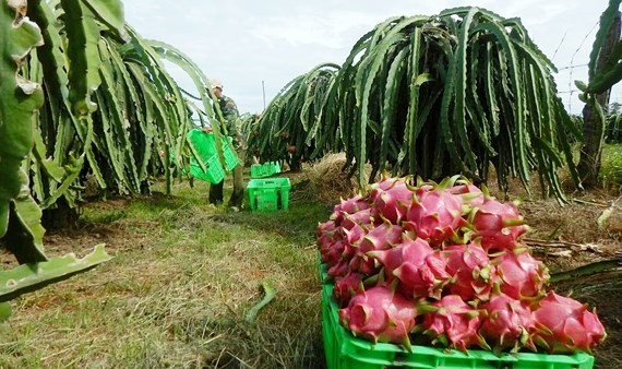 Binh Thuan is considered as the kingdom of dragon fruit of the whole country