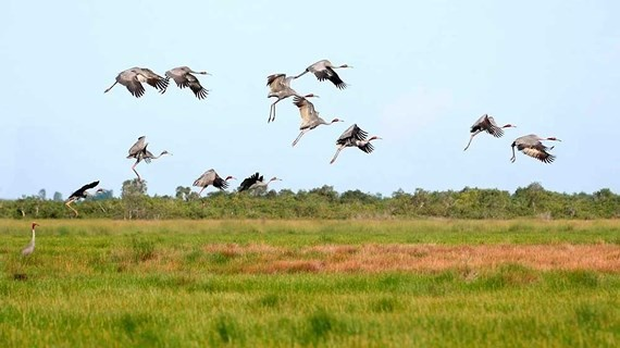 Red- headed cranes migrate to Phu My grassland