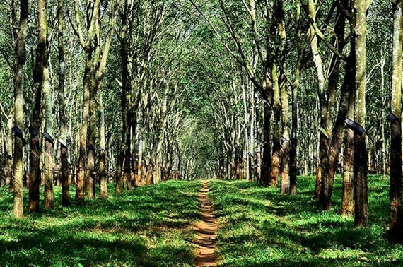 Rubber forest in Gia Lai province (Photo: vnexpress.net)
