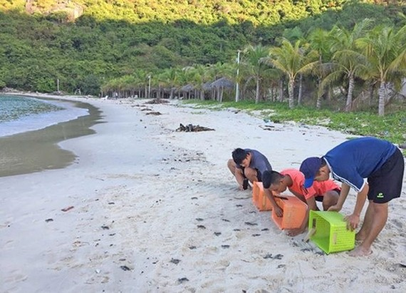 More than 1,500 Con Dao turtle eggs are successfully hatched in Cu Lao Cham
