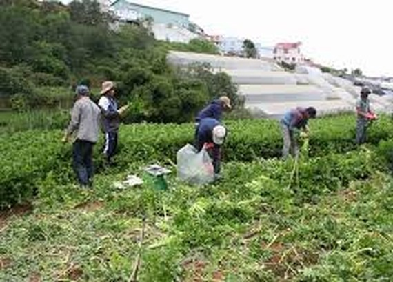 Da Lat vegetable prices rocket up due to a long- lasting flood and downpour