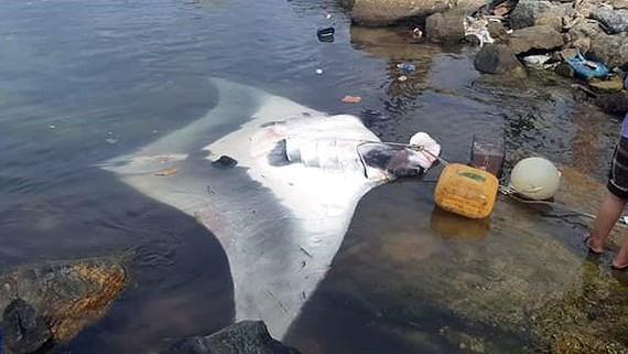 Cá đuối được đưa về sáng 30-5
