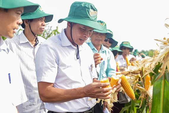 Corn seeds brought into Vietnam by Monsanto for testing (Photo SGGP)