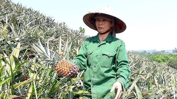 Farmers are sad because of the price of pineapple falls