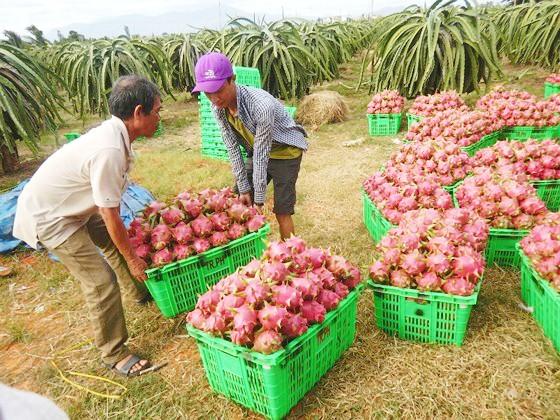 Lotte Mart hỗ trợ tiêu thụ thanh long Bình Thuận