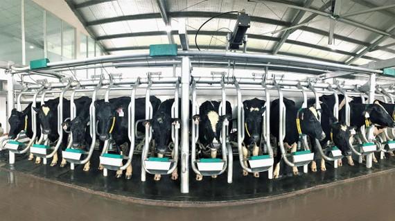 Đàn bò A2 đang được chăm sóc tại Tổ hợp trang trại bò sữa công nghệ cao Vinamilk Thanh Hóa